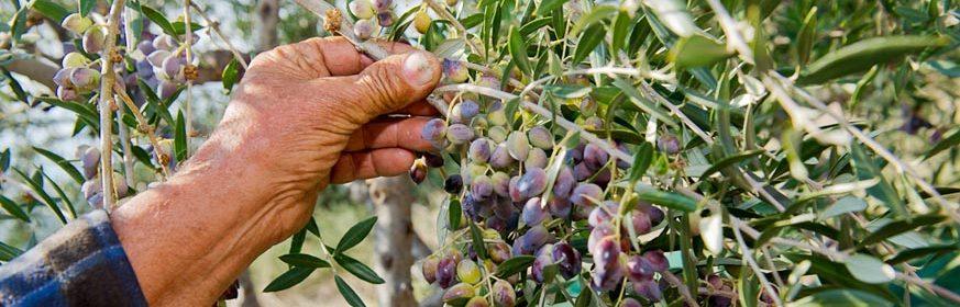 Olivenbaeumchen Darlehen Mani